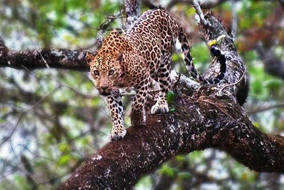 Leopard on the tree @ Kabini