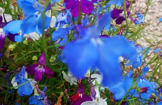 A bad click and I don't know the name of the flower, but what a blue!