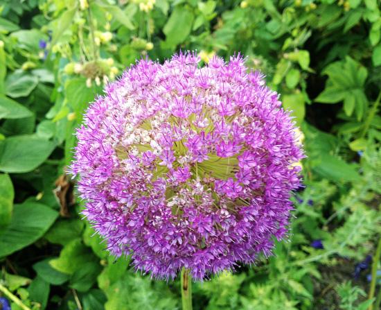 Mauve beauty in a globe - Allium